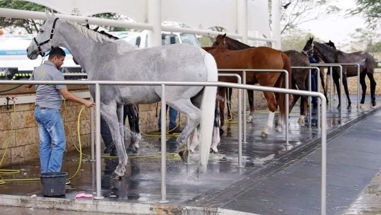 Kuda-kuda di Al Shaqab (Al Shaqab)