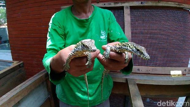 Lucunya Anakan Komodo Koleksi Kebun Binatang Surabaya
