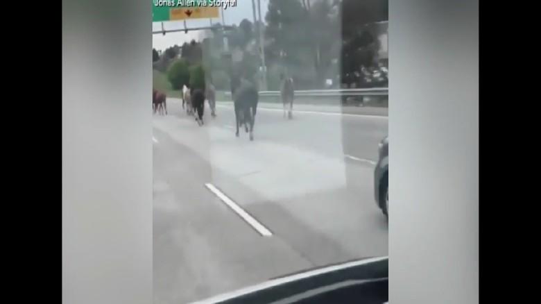 Kacau! Kawanan Kuda Masuk Jalan Tol dan Bikin Heboh