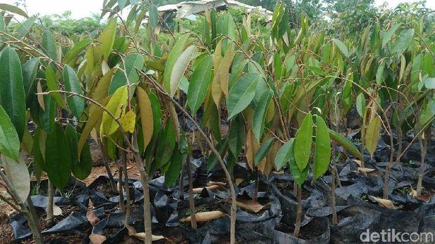 Bibit tanaman Durian.