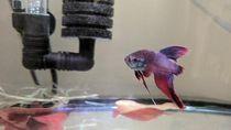 Kisah Ikan Cupang Sekarat yang Berubah Drastis