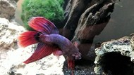 6 Manfaat Pelihara Ikan Hias Cupang, Bikin Akhir Pekan Rileks