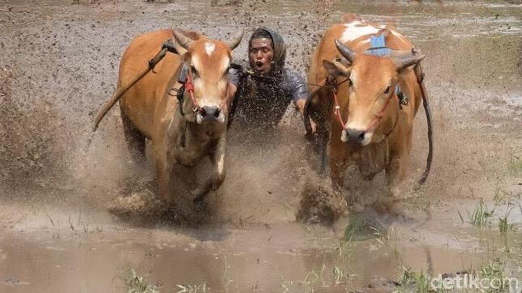 Menjepret Pacu Jawi, Lomba Balap Sapi yang Mendebarkan