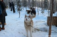 Husky Farm di Kota Murmansk (Dina Rayanti/detikTravel)