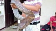 Gawat Pak Jokowi! Indonesia Belum Punya Antivenom King Cobra