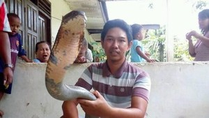 Ular Makan Ular, King Cobra Raksasa Bisa Mangsa Piton