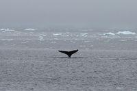 Ikan paus di laut Antartika (Alexandre Meneghini/Reuters)