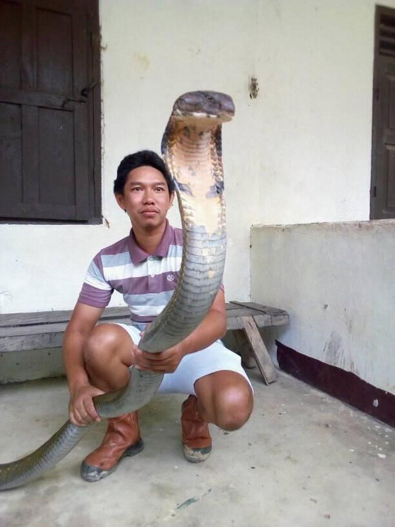 Sioux: Ular King Cobra Raksasa dari Kalimantan Peliharaan