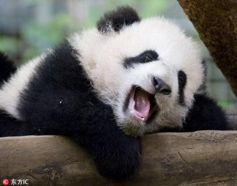 85 Gambar Hewan Panda Lucu Gratis Terbaik