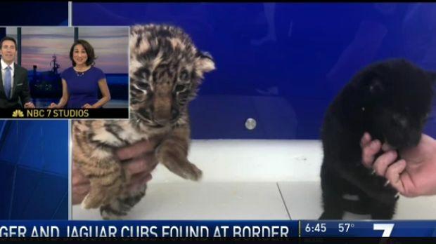 Bayi harimau dan jaguar hitam yang diselundupkan dalam kotak