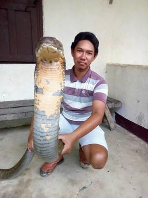 Fakta Mengagetkan King Cobra Raksasa di Kalimantan