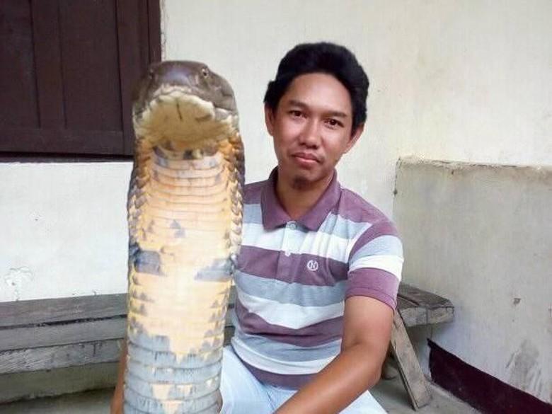 Berukuran Raksasa, King Cobra dari Kalimantan Obesitas