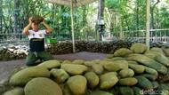 Angkat Batu di Ciamis Ini Mitosnya Bikin Sukses