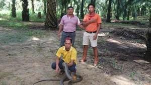 King Cobra Raksasa Dipastikan Dilepas Jauh dari Pemukiman