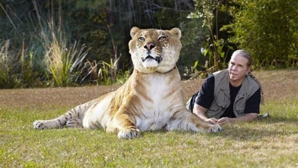 Liger, Persilangan Singa dan Harimau yang Dicap Tak Etis