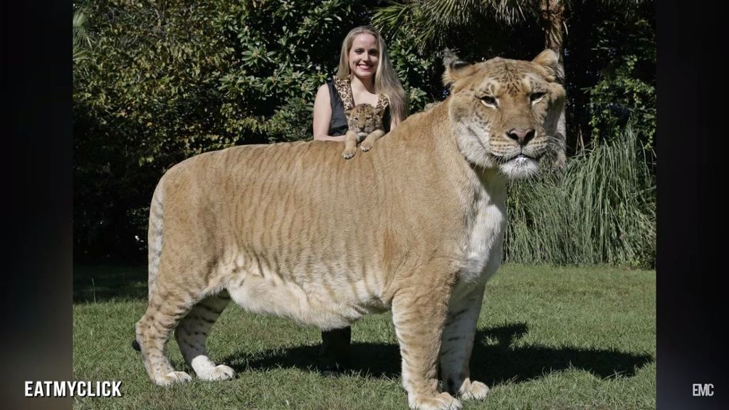 Liger merupakan hewan hybrid hasil perkawinan silang antara singa dengan harimau dan masih tergolong dalam spesies kucing. Foto: YouTube