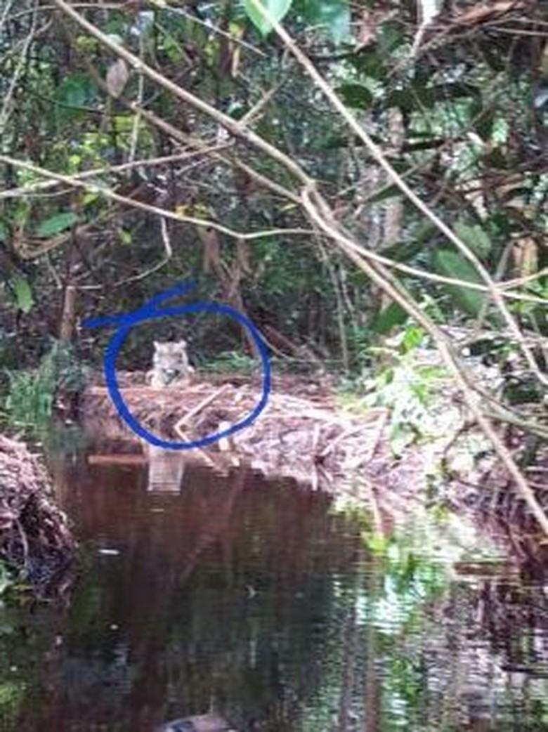 Perilakunya Tak Lazim, Kondisi Psikologis Harimau Bonita akan Dicek