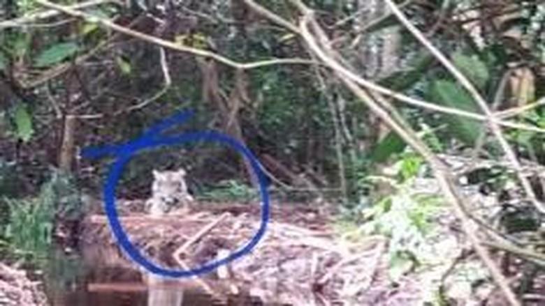 Harimau Bonita Akhirnya Ditangkap!
