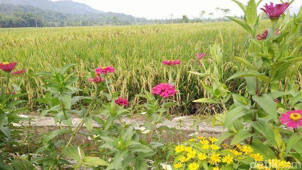 Selain mengusir hama, bunga-bunga ini membuat pemandangan lingkungan desa semakin indah.