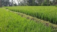 Lahan Pertanian Ditambah 250 Ribu Ha, Lokasinya hingga Bukit
