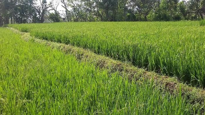 Lahan pertanian organik di Bondowodo (Foto: Chuk S. Widarsha)