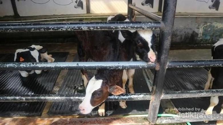Foto: Wisata peternakan sapi (Nfadils/dTraveler)