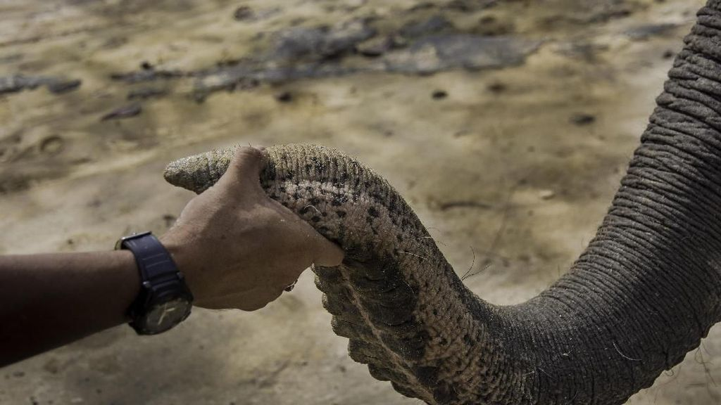 Warga Ramai-ramai Selamatkan Anak Gajah yang Terjerat Jebakan Rusa