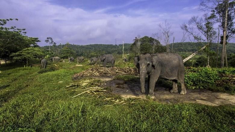 Lintasi Habitat Gajah, Tol Pekanbaru-Dumai Siapkan 5 Jalur Gajah