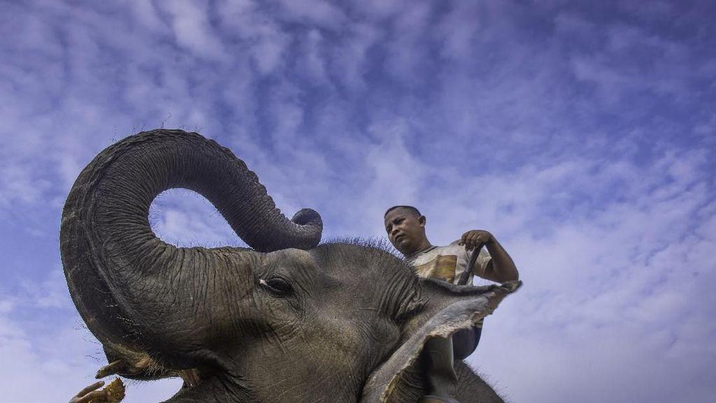 Setahun di Riau: 2 Gajah Mati karena Manusia, Harimau Tewaskan Warga