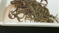 Cacing Anisakis adalah jenis cacing yang ditemukan oleh BPOM pada beberapa produk makarel. Cacing ini adalah parasit dan bisa menginfeksi manusia.