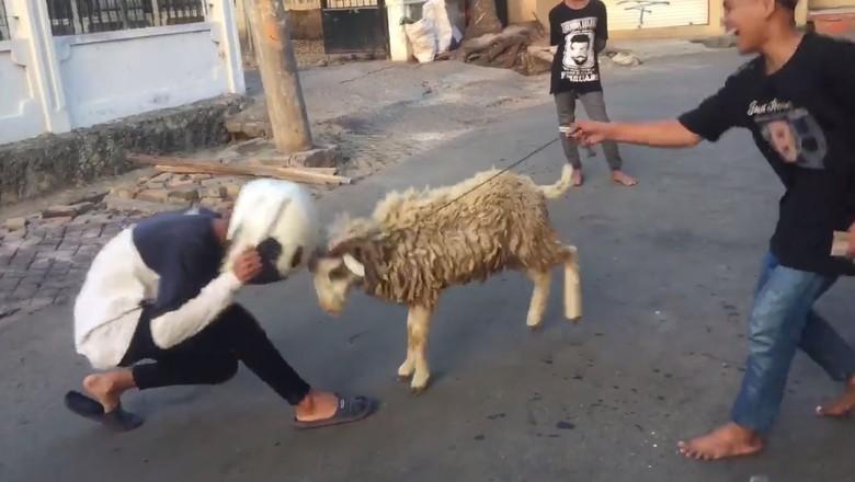 Ngadu kepala dengan kambing (Foto: Facebook/Budi Irawan)