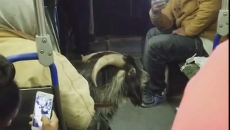 Kambing naik bus di Detroit, AS (Foto: YouTube/Viral Hog)