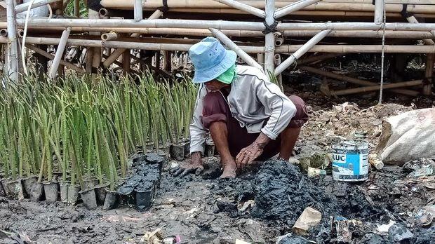 Seorang warga menanam mangrove di lokasi