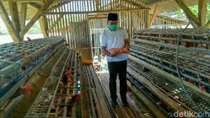 Kampanye di Ciamis, Ridwan Kamil Tinjau Peternakan Ayam Petelur
