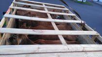 350 Ekor Sapi Perah asal Australia Tiba di Juanda
