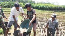 Tentang Hama Linsang yang Hantui Sistem Mina Padi di Banjarnegara
