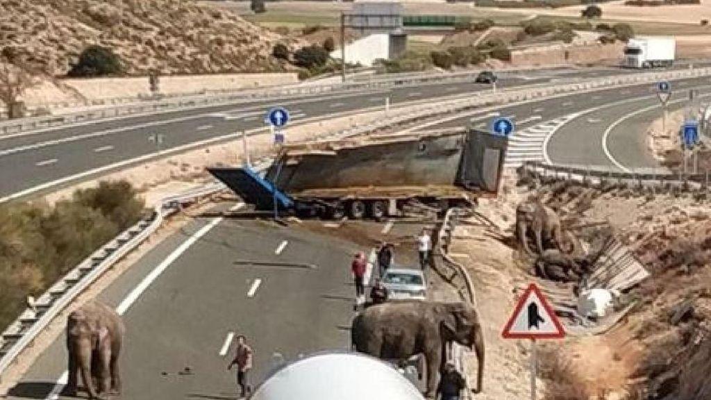 Momen Gajah-gajah Kabur Berkeliaran di Jalan Tol Spanyol