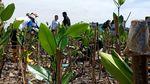 Foto: Tanaman Mangrove di Bekas Lautan Sampah Teluk Jakarta