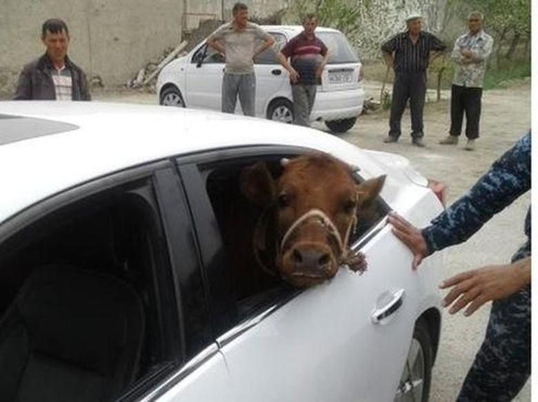 Anti-mainstream! Pria Ini Curi Sapi Pakai Mobil Mewah
