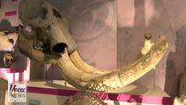 Foto: 3 Bocah Temukan Tulang Rahang Mastodon Umur 100 Ribu Tahun