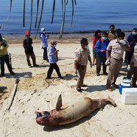 Pesut mati gara-gara tumpahan minyak di Teluk Balikpapan
