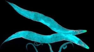 Ribuan Cacing Dikirim ke Luar Angkasa untuk Meneliti Otot