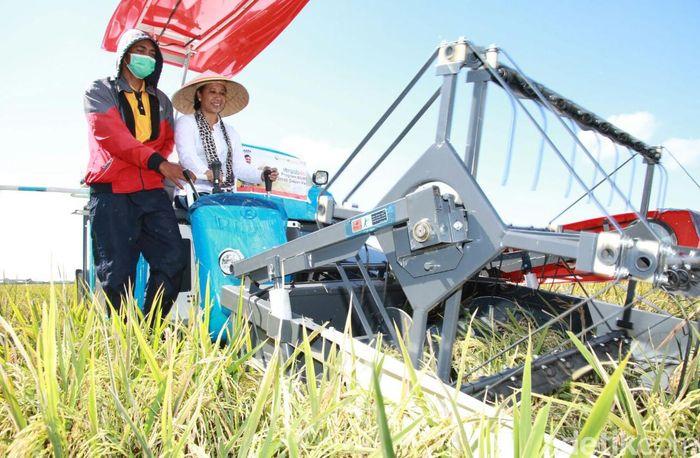 Rini ikut turun ke sawah bersama 50 petani di kelompok tani Sumber Kedawung.