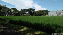 Bikin Adem, Sawah yang Menghijau di Tengah Hiruk Pikuk Surabaya