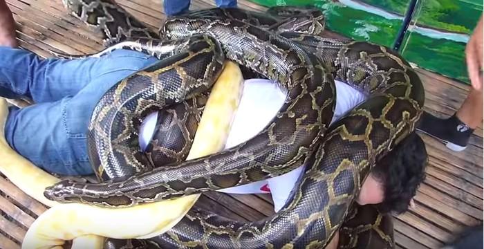 Metode pijat ekstrem yang pertama adalah dengan menggunakan empat ular piton Burma dalam sekali pijat. Pijatan tersebut ditawarkan khusus bagi pengunjung sebuah kebun binatang yang ada di kota Cebu, Filipina. Ular-ular tersebut dibiarkan merayap sekitar 15 menit. Petugas percaya bahwa pijatan ular piton dapat mengobati rematik dan menyegarkan tubuh. Foto: YouTube