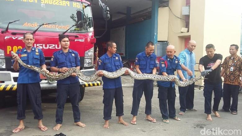Piton 7 Meter Ular Terbesar yang Pernah Ditangkap Damkar Jakpus