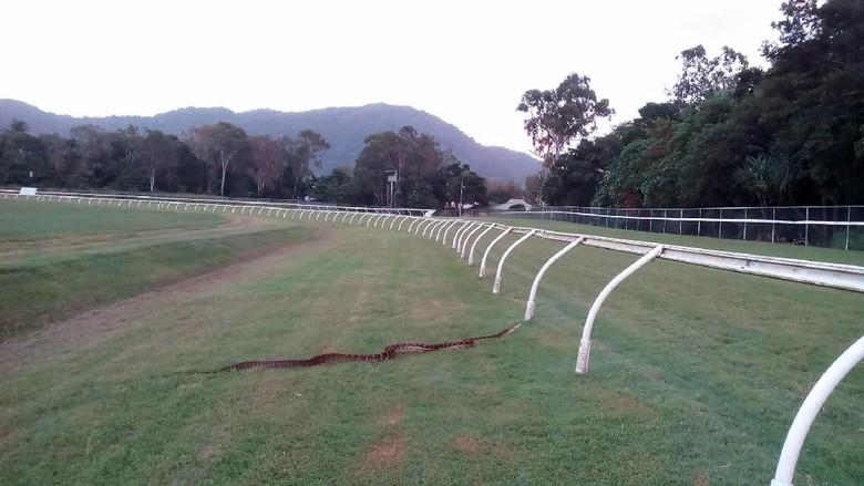 Penampakan Piton 4 Meter di Jalur Latihan Berkuda di Australia
