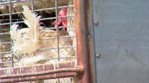 3.000 Bangkai Ayam Ditinggalkan Begitu Saja di Truk di AS