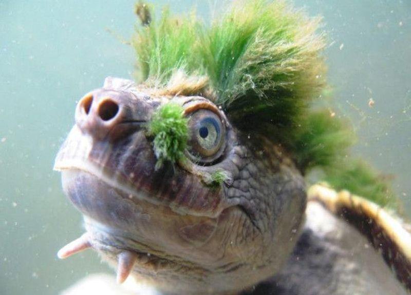 Inilah kura-kura yang ada di sebuah sungai di Australia. Kura-kura ini memiliki gaya rambut punk-rock yang khas (CNN)