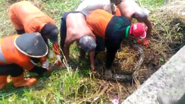 Ular ditemukan saat petugas tengah memotong rumput